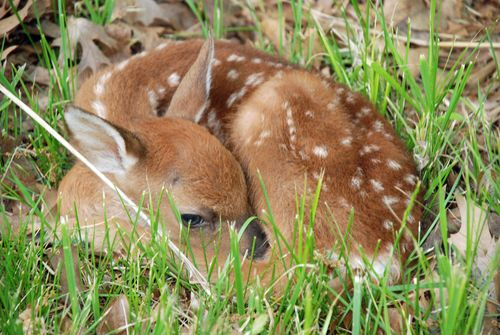 Baby fawn