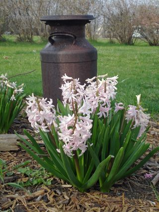 Milkcan with hyacinths