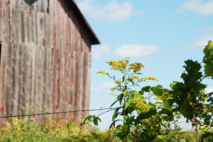 Weeds and barn