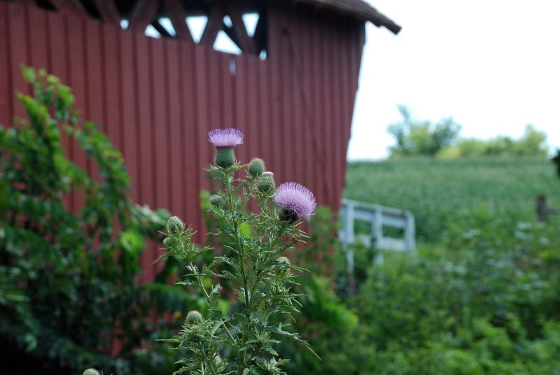 Thistle weeds