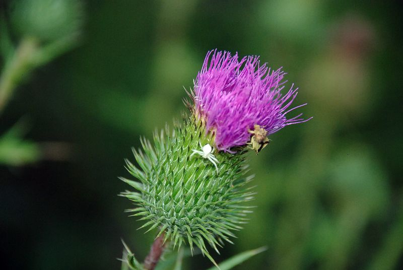 Spiders and thistle