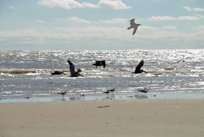 Gulls and pelicans