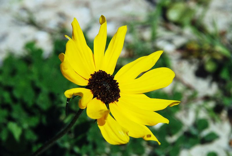 Wild black eyed susan