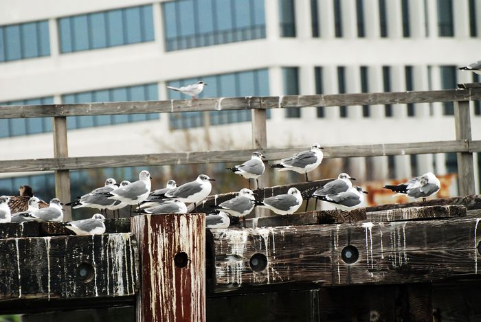 Seagulls at attention