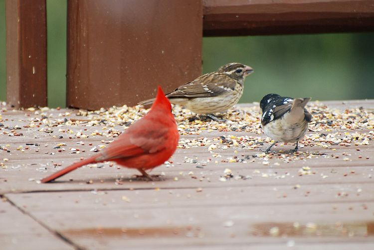 Grosbeaks and cardinal