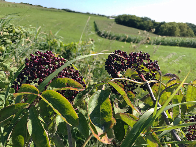 Elderberries2
