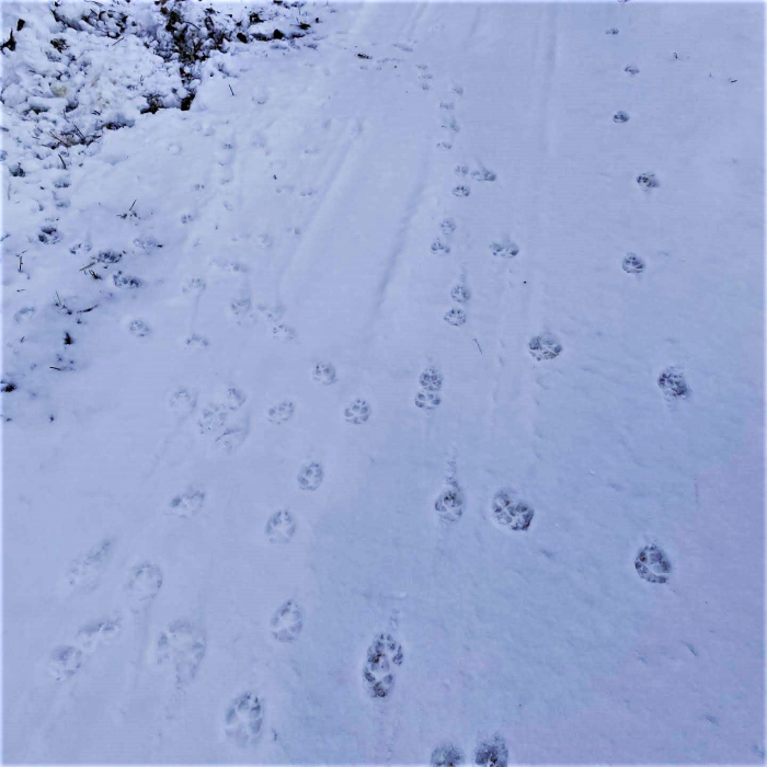 Coyotetracks