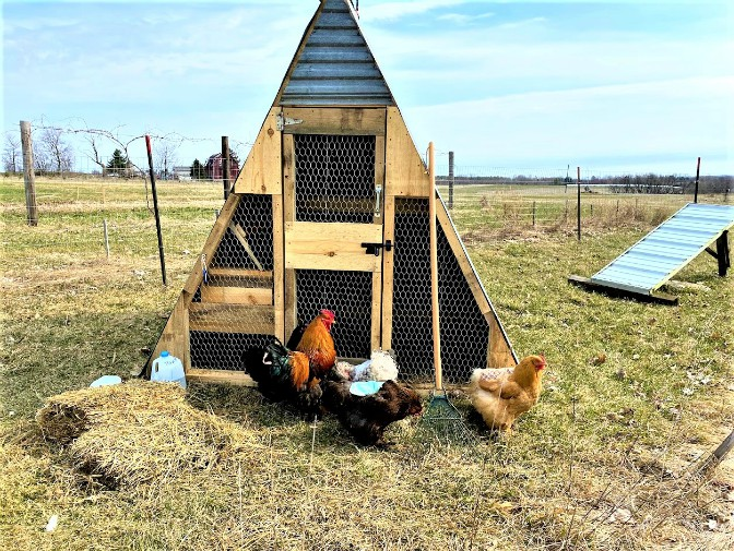 Chickens and coop2